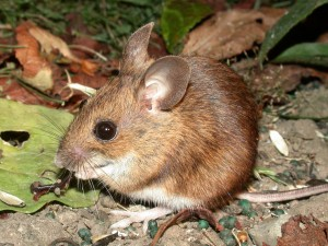Hantavirus_woodMouse